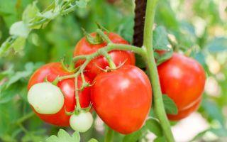 Разнообразие сортов томатов сливка