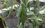 Почему могут вянуть листья у арбуза в теплице?