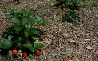 Почва, подходящая для клубники и земляники