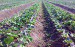 Агротехника выращивания клубники в открытом грунте