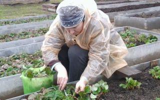 Технология посадки и обработки клубники ранней весной