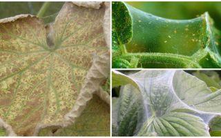 Эффективные и доступные методы борьбы с паутинным клещом в теплице