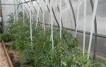 Грамотная подвязка помидоров в теплице из поликарбоната
