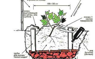 Выращивание винограда: выбор сорта и правила ухода