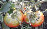 Почему при созревании лопаются помидоры в теплице