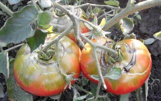 Технология выращивания петунии
