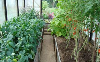 Можно ли выращивать огурцы и перец в одной теплице?