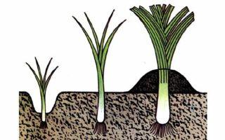 Лук-порей: способы посадки и особенности выращивания