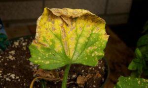 Почему сохнут листья у огурцов: причины и их устранение