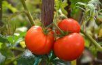 Наиболее урожайные томаты: отзывы аграриев