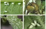 Эффективная борьба с белокрылкой на помидорах в теплице