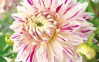 Как правильно выращивать георгины сорта авиньон?