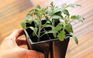 Рассада помидор плохо растет — что делать? отвечает ганичкина
