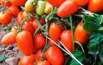 Выращивание томата сорта новичок