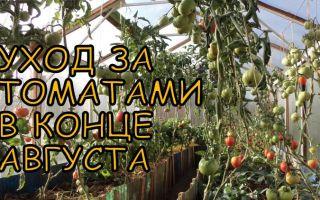 Правила ухода за тепличными томатами в августе