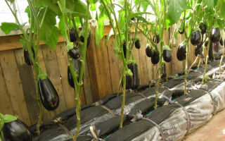 Секреты выращивания баклажанов в тепличных условиях и открытом грунте