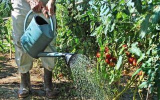 Как часто нужно поливать помидоры в теплице и в открытом грунте