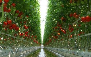 Основные проблемы при выращивании тепличных помидоров