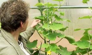 Нужно ли обрывать усы у огурцов при выращивании в теплице?
