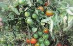 Популярный томат моравское чудо