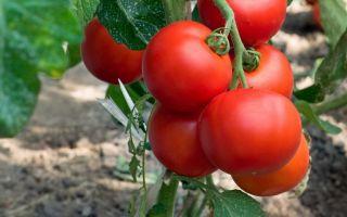 Самые вкусные и урожайные помидоры низкорослых сортов