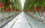 Какие сорта являются лучшими для выращивания в подмосковье в теплице?