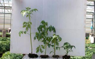 Что делать, если переросла рассада помидоров?