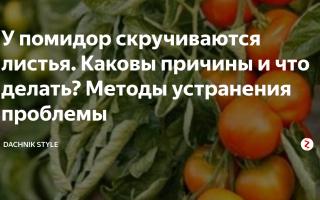 Почему листья у томатов скручиваются: определение и устранение основных причин