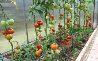 Как ускорить созревание помидоров в теплице: способы и советы