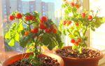 Как вырастить помидоры в квартире зимой