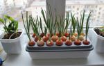 Технология и секреты выращивания лука на своем участке