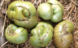 Почему выросли уродливые помидоры в теплице?