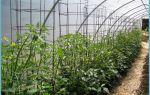 Каким образом и как подвязать помидоры в теплице