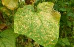Пятна на листьях огурцов в теплице: причины, методы лечения и профилактики
