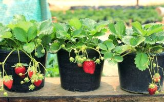 Советы по выращиванию клубники в горшках
