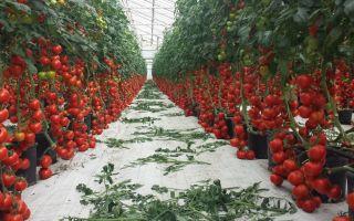 Основные принципы выращивания томатов в теплицах