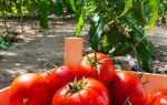 Самые урожайные сорта томатов для теплиц: критерии выбора и способы увеличения урожая