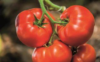Характеристика томата орлиный клюв: отзывы и фото