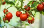 Помидоры черри: посадка и выращивание