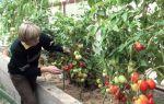 Когда следует снимать помидоры в теплице