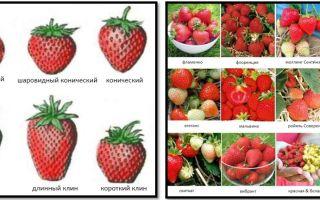 Какие существуют отличия между клубникой и земляникой?