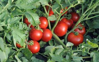 Помидоры ляна: характеристика сорта фото отзывы садоводов