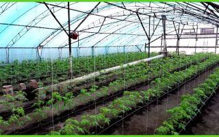 Особенности тепличного выращивания помидоров