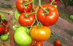 Томат красным красно: достоинства сорта и правила выращивания
