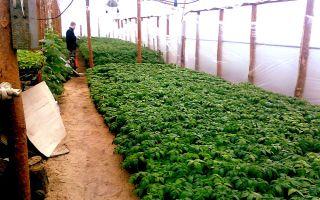 Применение парника «таблетка»: инструкция по выращиванию рассады