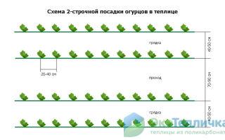 Как правильно осуществлять посадку огурцов в июле в теплицу