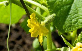 Что делать с пустоцветом на огурцах при выращивании в теплице