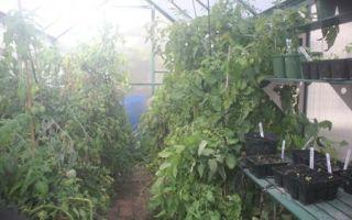 Как следует обрезать помидоры в теплице