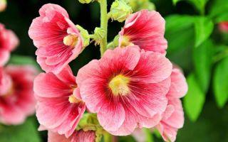 Садовая мальва: выращивание из семян в теплицах