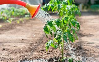 Можно ли осуществлять полив помидоров холодной водой